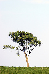 10 July 2005:   a solitary tree stands alone on the prairie surrounded by grass against a blue sky with light white clouds.