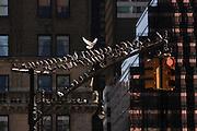 USA, NY, New York City, Pigeons on a traffic light