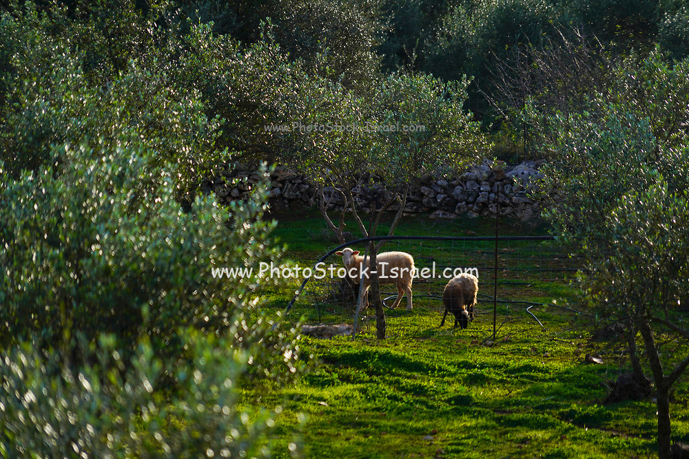 Sheep grazing in an Olive grove Photographed on Crete, Greece in January