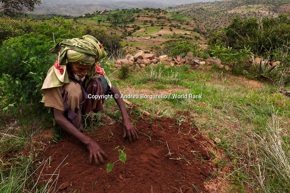 Ethiopia, Tigray region, Kola District. Man is planting a new just below the mountain as part of the reforestation campaign funded by the World Bank Sustainable Land Management Program.