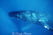 humpback whale, Megaptera novaeangliae, Maui, Hawaii ( Pacific Ocean ); caption must include notice that photo was taken under NMFS research permit #633