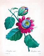 19th-century hand painted Engraving illustration of a Passiflora alata, the winged-stem passion flower by Pierre-Joseph Redoute. Published in Choix Des Plus Belles Fleurs, Paris (1827). by Redouté, Pierre Joseph, 1759-1840.; Chapuis, Jean Baptiste.; Ernest Panckoucke.; Langois, Dr.; Bessin, R.; Victor, fl. ca. 1820-1850.