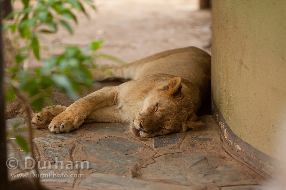 Oranje, an 18 month old orphan lion (Panthera leo), rests in the path on the grounds of the Chipangali Wildife Orphanage in Bulawayo, Zimbabwe.