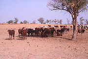 Life in the Sahel region of northern Nigeria, west Africa, early 1980s - herd of cattle in arid semi-desert land