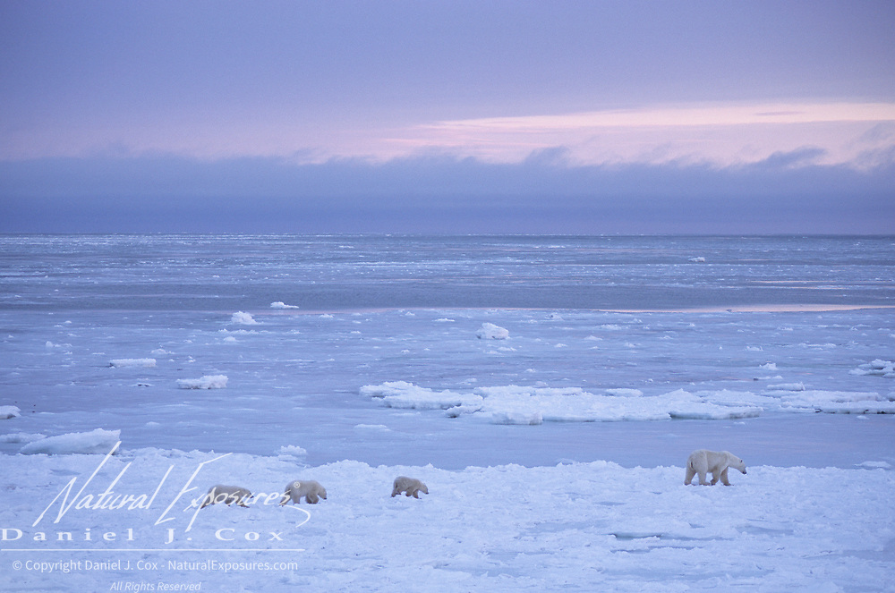 Polar bear (Ursus maritimus) mother with a trio of cubs wandering and waiting for the bay to freeze. Hudson Bay, Cape Churchill, Canada