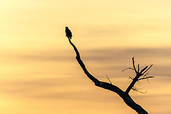Bald eagle in tree overlooking pond, Bosque del Apache, National Wildlife Refuge, New Mexico, USA.
