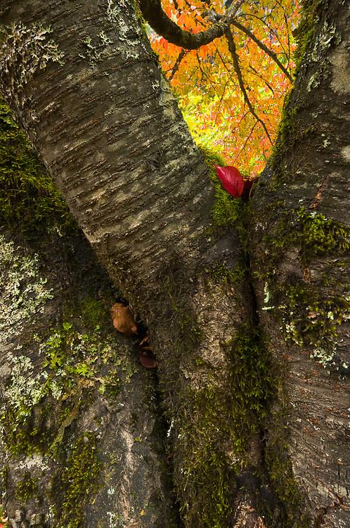 Autumn trees, October, Seattle City Light grounds, Ross Lake National Recreation Area, Newhalem, Washington, USA