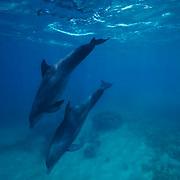 Bottlenose Dolphin (Tursiops truncatus) underwater in the Gulf of Mexico near Honduras.  Captive Animal.