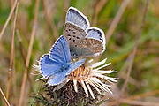 Adonis Blue and Chalkhill Blue butterflies on Carline Thistle, Purbeck, Dorset, UK