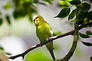 Budgerigar perched on branch, Queensland, Australia