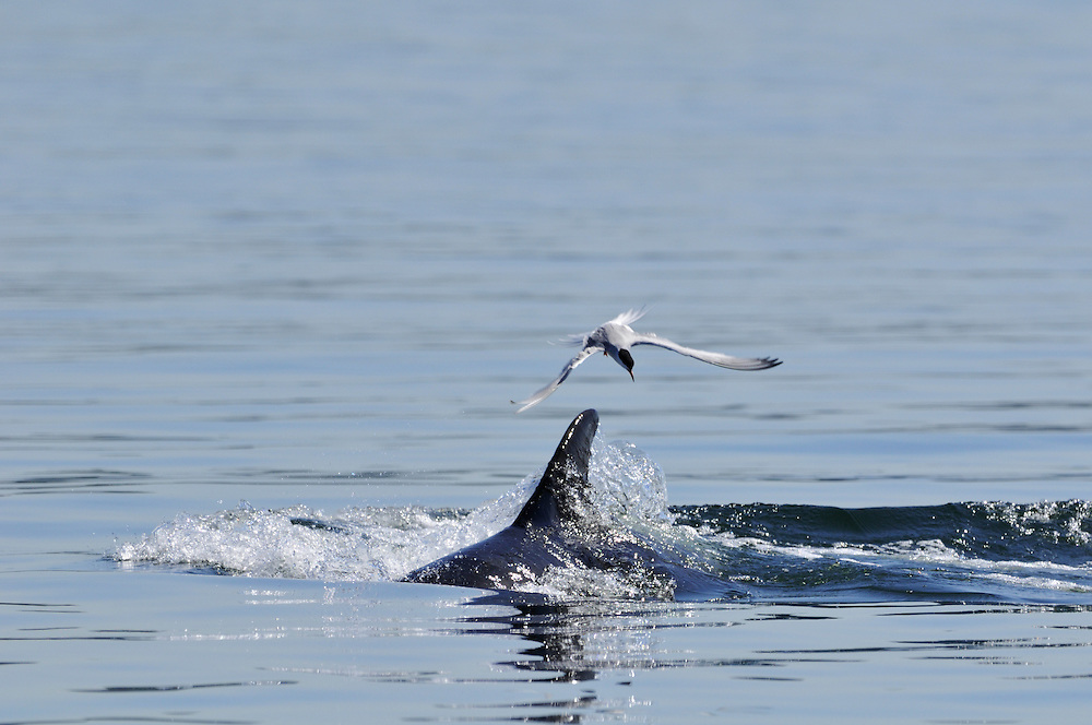 Common Tern circling over surfacing Bottle-nosed Dolphin,<br /> Tursiops truncatus,<br /> Moray Firth, Nr Inverness, Scotland - May
