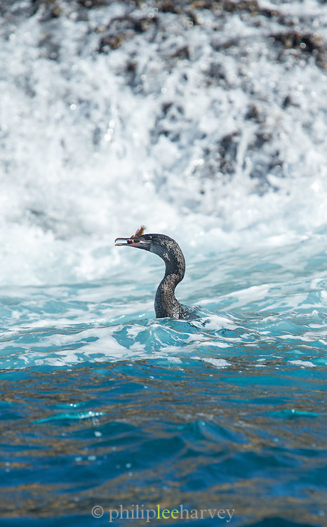 Flightless Galapagos cormorant (Phalacrocorax harr) with fish, Galapagos Islands, Ecuador, South America