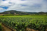 Fiddlestix Vineyard. Santa Rita Hills.