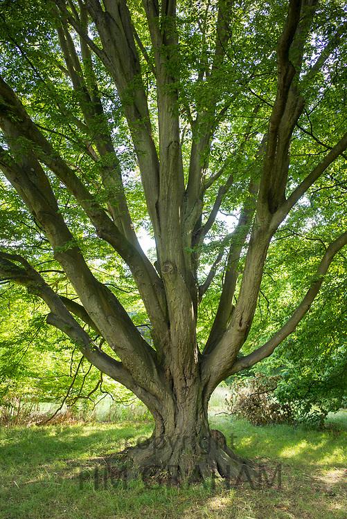 Common Hornbeam tree Carpinus Betulus Fastigiata at Royal Botanic Gardens at Kew, England, UK