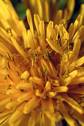 18 April 2007: Macro shots of dandelion