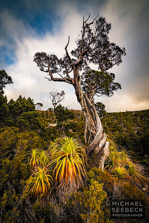 A lone pencil pine reaches for the sky in a Tasmanian alpine wilderness landscape.<br /> <br /> Code: PADC0008<br /> <br /> Limited Edition of 25