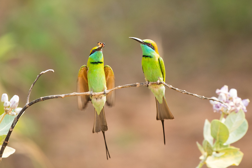 A pair of green bee eaters resting on branch, Wilpattu National Park, Sri Lanka
