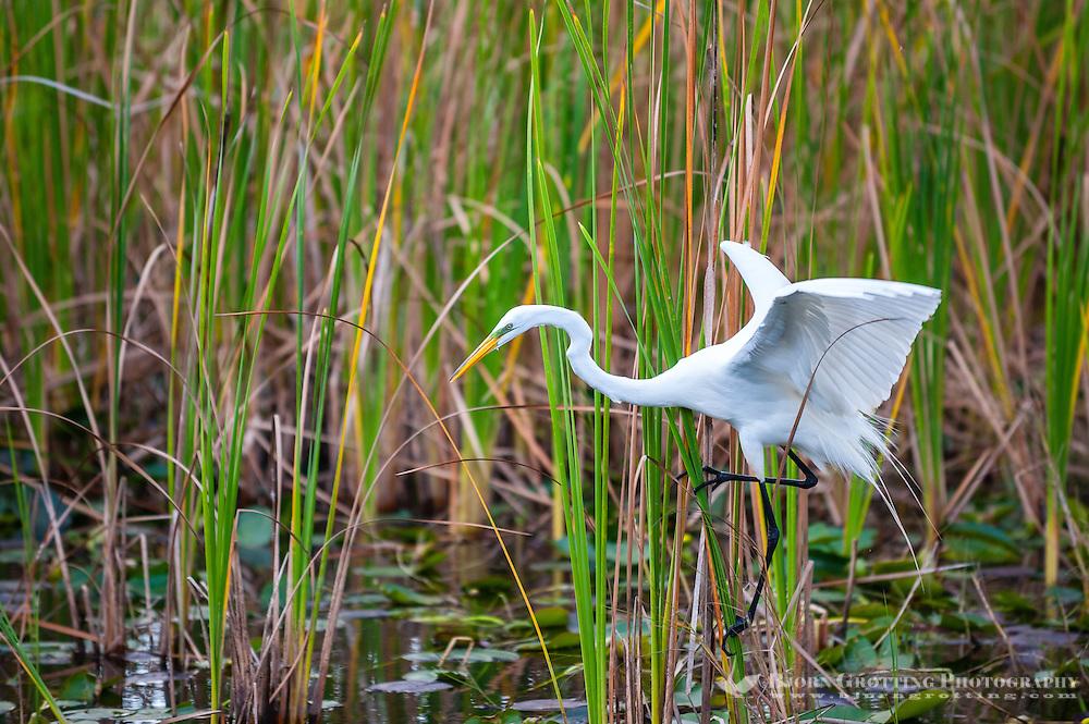US, Florida, Everglades, Shark Valley. Great White Egret.