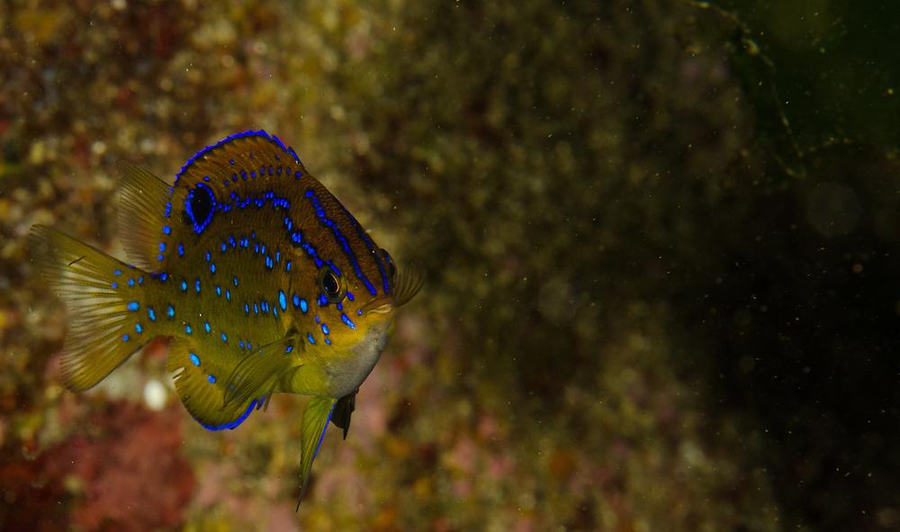 Black Angelfish, Parma alboscapularis