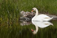 Mute swan (Cygnus olor).<br /> Långviksskär, Stockholm Archipelago, Sweden