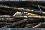 Sugar Cane. Belize Sugar Cane Farmers Association (BSCFA). San Joaquin, Corozal, Belize. January 23, 2013.