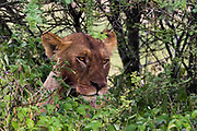 A lioness, Panthera leo, with a bloody face after feeding.