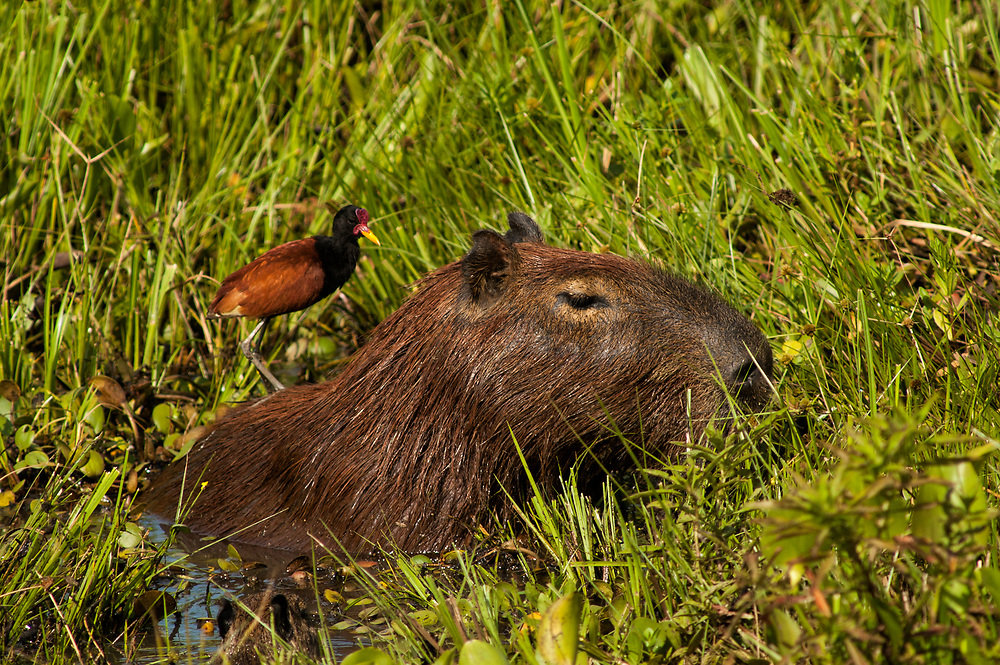Capybara (Hydrochaeris hydrochaeris)<br /> PHOTOGRAPHED IN: Pantanal. Largest contiguous wetland system in the world. Mato Grosso do Sul Province. BRAZIL.  South America. RANGE: All of South America.<br /> They are the largest rodents in the world - averaging 50kgs or 110Lbs. Largely aquatic mammals that feed on vegetation in and around swamps. They live in family groups of 10 - 30 animals. Due to their large litter sizes - up to 7 babies, they are are well suited to farming.  They do not compete with cattle as they graze short grass near water.