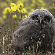 Snowy Owl chick. Barrow, Alaska