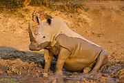 White rhinoceros (Ceratotherium simum) Drinking<br /> Marakele Private Reserve, Waterberg Biosphere Reserve<br /> SOUTH AFRICA<br /> ENDANGERED SPECIES