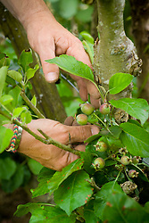 Thinning out fruits of young apples to give fewer but larger and better quality fruit