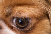 eye of little dog