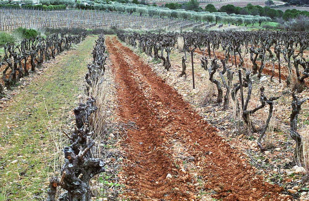 Chateau Peuch-Haut, St Drezery. Gres de Montpellier. Languedoc. Vines trained in Cordon pruning. Terroir soil. France. Europe.