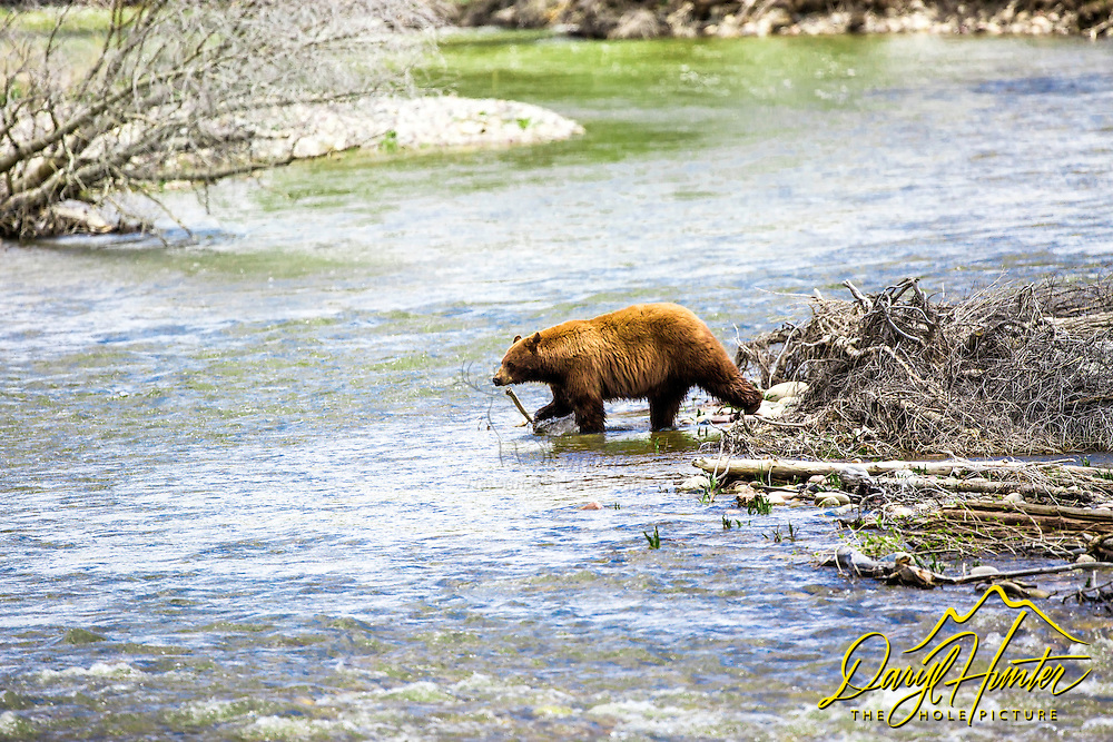 Large cinnamon black bear crossing the Gros Ventre River on the National Elk Refuge in Jackson Hole Wyoming.