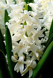 Hyacinthus orientalis 'Carnegie'