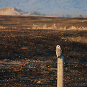Short-eared owl (Asio flammeus) sitting on a fence post overlooking recently burned grassland habitat that it needs for a nest site. Ninepipe National Wildlife Refuge, Montana