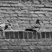 I happened upon these three pigins while working on some other shots.  They just happened to be sitting on a ledge with wonderfully different yet expressive poses.