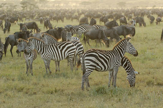 Burchell's Zebra (Equus burchelli) During migration in Serengeti National Park, more than 200,000 zebras migrate along side one million wildebeest and 300,000 Thomson's gazelles. Tanzania. Africa. February.