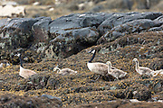 Flock of Canada Geese, Branta canadensis, in goose family group with goslings in loch on Isle of Mull in the Inner Hebrides and Western Isles, West Coast of Scotland