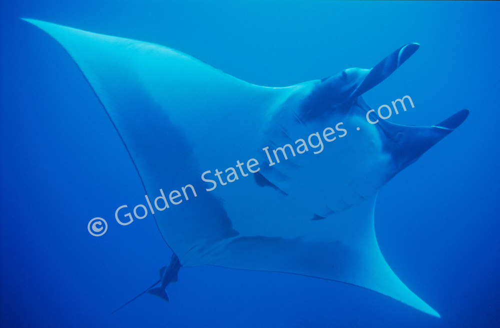 A manta ray's wing span can be well over 12 feet. <br /> <br /> The Cocos Islands are located about 300 miles off the coast of Costa Rica, and measure less than 10 square miles. <br /> <br /> Range: Peru North to Baja Mexico    <br /> <br /> Species: Manta hamiltoni