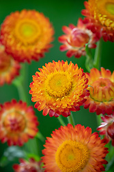 Xerochrysum bracteatum syn. Helichrysum - is this a variant of  Helichrysum bracteatum 'Scarlet' or something different