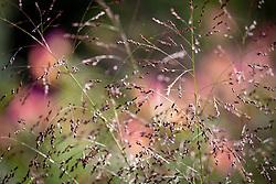 Panicum virgatum 'Warrior' - Switch grass