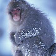 Snow Monkey or Japanese Red-faced Macaque, (Macaca fuscata) Hokkaido, Japan.