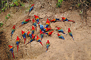 3 Species of Macaws on Clay Lick<br />Red & Green Macaw, Scarlet Macaw and Blue & Yellow Macaw<br />Ara Chloroptera, Ara Macao, Ara ararauna<br />on Timpia Clay Lick, Urubamba River. Amazon Rain Forest<br />PERU.  South America