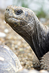 05 June 2005 <br /> <br /> Galapagos Turtle<br /> <br /> Miller Park Zoo, Bloomington, Il (Photo by Alan Look)