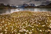 Rainstorm engulfs Cuernos del Paine peaks, daisies in flower, Parque Nacional Torres del Paine, Patagonia, Chile.