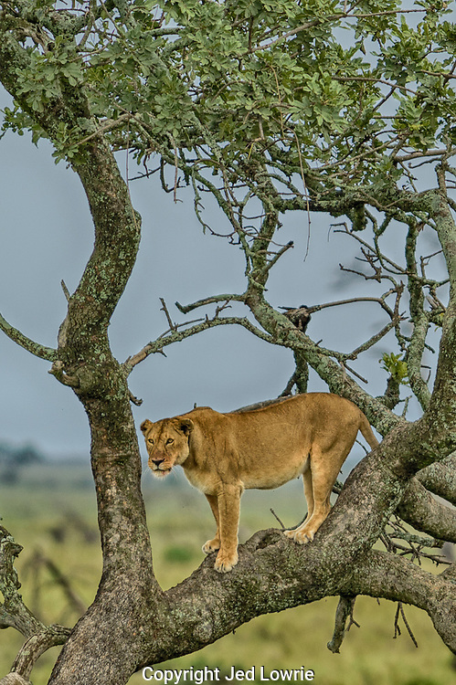 We landed on a dirt strip in the middle of the Serengeti, called the Seronera Airport. Not 10 minutes into our safari we spot this lioness in a tree, supposedly a rare site in the Serengeti.