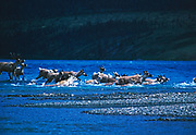 Members of the Mulchatna Caribou Herd fording connecting stream between Upper and Lower Twin Lakes, Lake Clark National Park, Alaska.