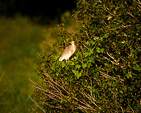 Squacco Heron. Zambezi River Wildlife Tour. Image taken with a Nikon 1 V3 camera and  70-300 mm VR lens