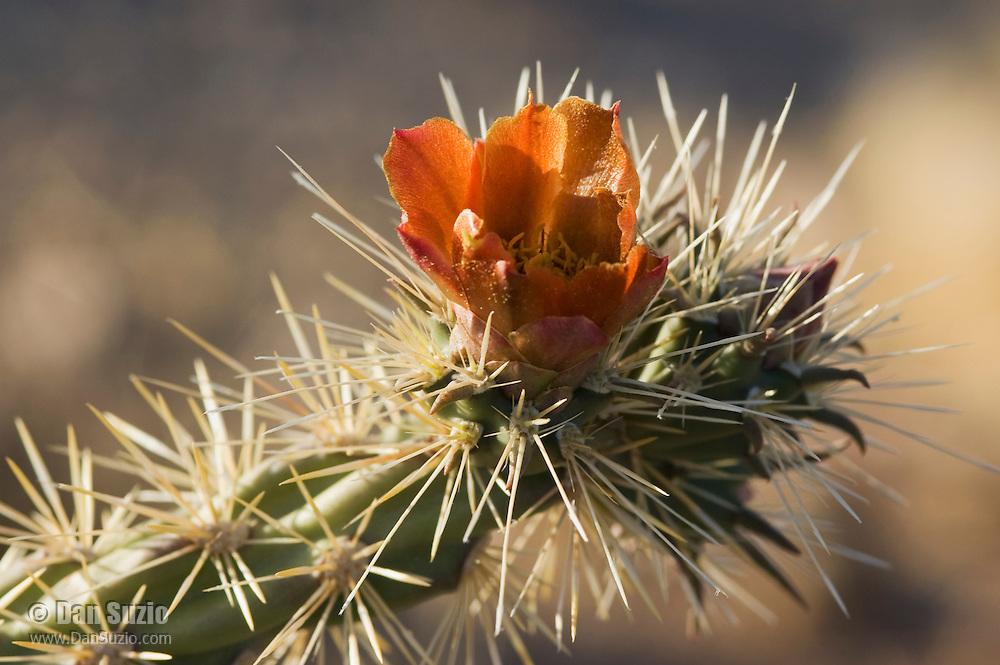 Buckhorn cholla, Cylindropuntia acanthocarpa. Saguaro National Park, Arizona
