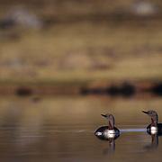 Red-throated Loon (Gavia stellata) in the Northwest Territories,  Canada..Red-throated Loon (Gavia stellata) in the Northwest Territories, Canada.